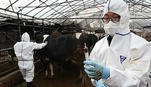 忠清北道报恩郡出现口蹄疫 195头乳牛被掩埋处理
