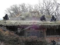 함양군, 전통농경문화 '초가지붕' 이엉이기