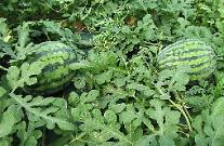충북도, 프리미엄 유기농 수박 생산연구에 박차