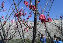 """[영상중국] """"베이징에도 봄날이…""""  꽃망울 터트린 봄의 전령사 '매화'"""
