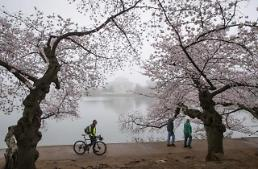 [GLOBAL PHOTO] Cherry blossoms bloom in Washington