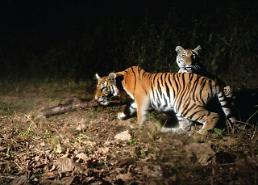 .[GLOBAL PHOTO] Tiger family caught on camera while taking night stroll.
