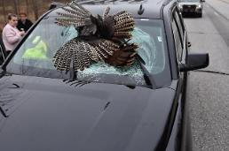 .[GLOBAL PHOTO] Turkey stuck on windshield of SUV.