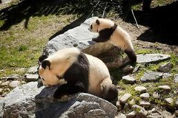 .[GLOBAL PHOTO] Giant pandas enjoy stroll.