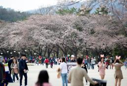 .首尔大公园成樱花海洋.