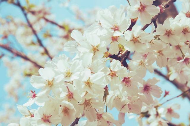 [AJU VIDEO] 又到樱花盛开时