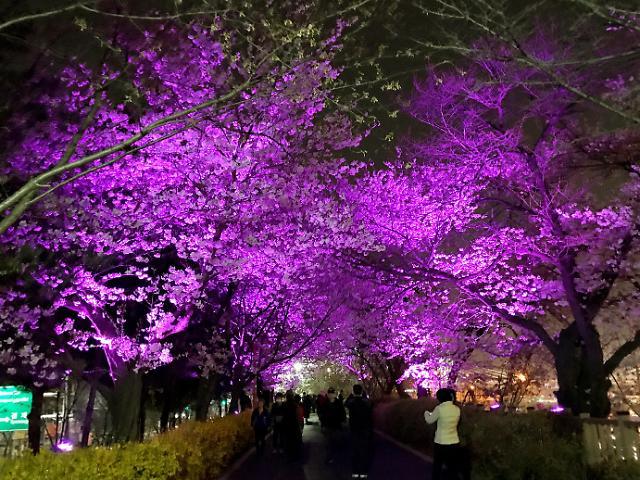 [AJU VIDEO] 夜赏樱花别样情