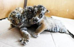 .[GLOBAL PHOTO] Tiger triplets at play.