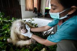 .[GLOBAL PHOTO] Indonesia Albino Orangutan.