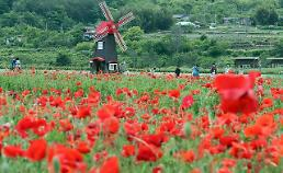 .[PHOTO] Tourists enjoy stroll in poppy field.