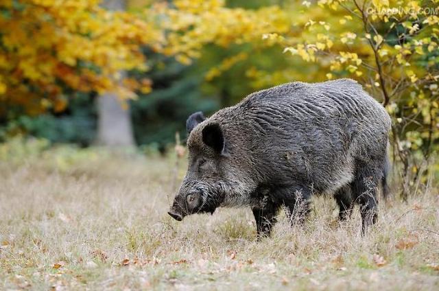 首尔延世大学附近野猪出没 或已进入大学后山