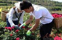 [인민화보]장미꽃 한 송이로 일구는  '부농의 꿈'