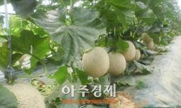 청양멜론 첫 출하, 고품질 재배기술 공유로 고소득 올려