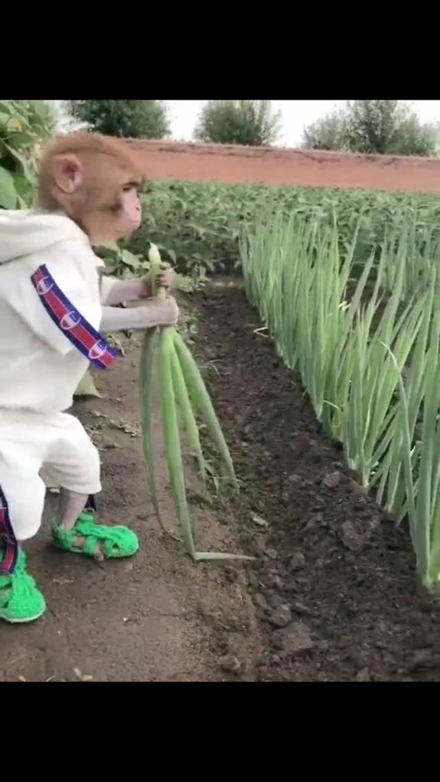 [AJU VIDEO] 笑尿!实拍猩猩吃大葱!