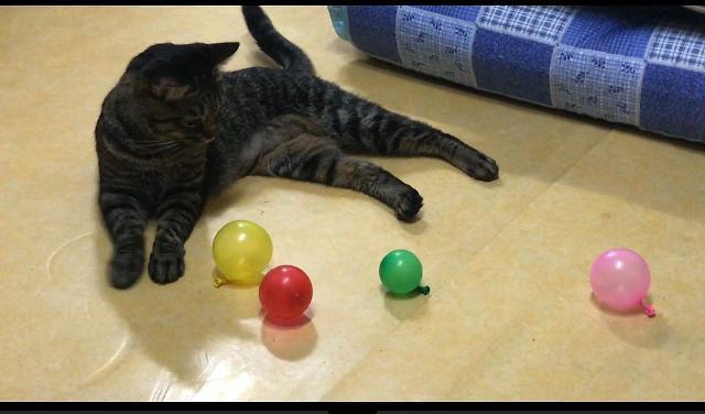[AJU VIDEO]  猫咪第一次看到气球的反应是?