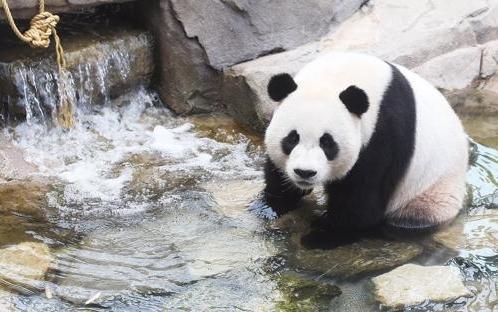 明年或在韩国诞生首只熊猫宝宝  爱宝乐宝要当爹妈呀!