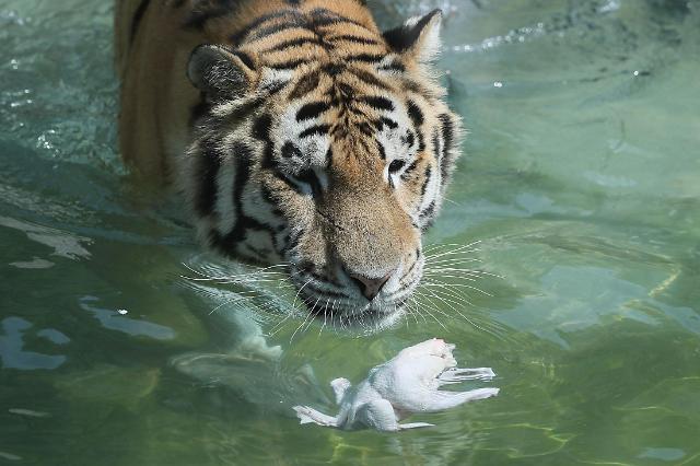 """末伏来临 韩国的老虎也喝了碗""""参鸡汤""""保养"""