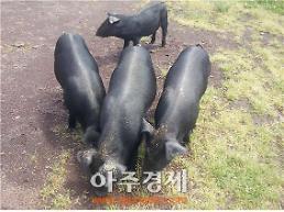 제주, 전국 유일 100% 제주산 돼지고기 음식점 지정 추진