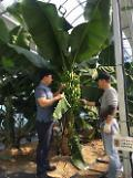 Climate change prompts S. Korea to test banana cultivation