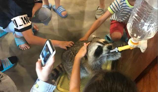 """韩国动物咖啡厅人气攀升 浣熊、狐獴却异常""""痛苦"""""""