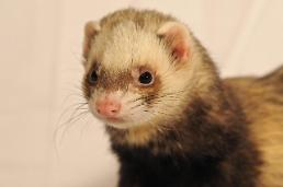 .Woman arrested for cooking roomates pet ferret in oven to death.
