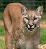 .Wild mountain lion captured in San Francisco, California.
