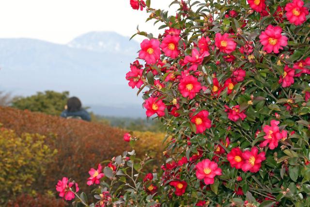 济州大片茶花迎冬盛开