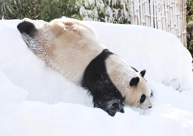 """熊猫""""爱宝""""也爱玩雪~~"""