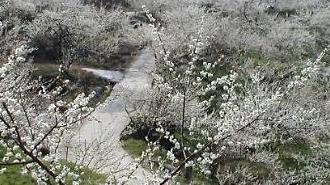 산수유·매화·유채꽃 모두 만나는 남도·제주 봄꽃 여행