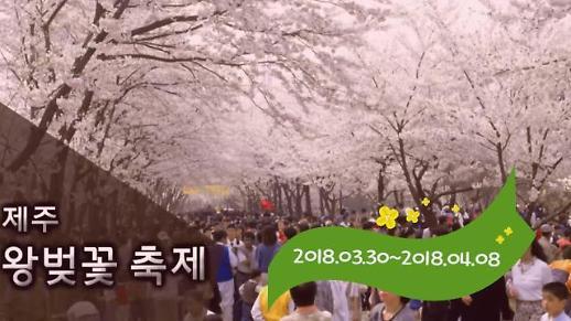 [제.아.픽] 제주도 봄꽃 축제 'Top3' 지금부터 시작이다!