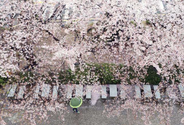 釜山釜庆大学樱花雨