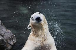 .S. Koreas only polar bear allowed to move to British animal park .