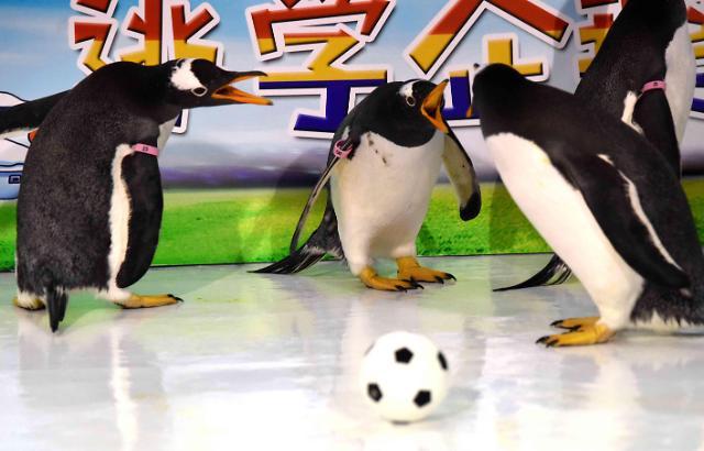 """[중국포토] 러시아 월드컵 개막 기념… 펭귄·판다 """"우리도 축구할래"""""""