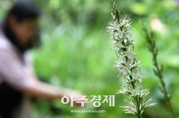 멸종위기 식물 칠보치마, 수원 칠보산에서 꽃 피웠다