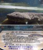 .[PHOTO NEWS] Leaders gift, Chinese salamander in Pyongyang zoo.