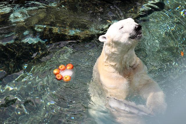 """韩国最后一只北极熊今年冬天前往英国开始""""退休生活"""""""