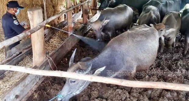 광견병 걸린 소 요리에 감염 공포 확산