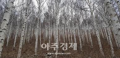 '영양 자작나무숲' 국가지정 명품 숲으로 선정