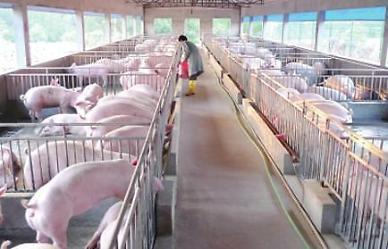 [중국증시] 2년후 돼지고기값 90% 뚝…공급과잉 우려에 돼지주 추락