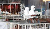 잇따른 고병원성 AI 발생에도 닭·오리·달걀 가격 안정세