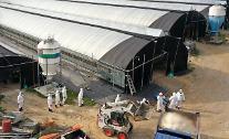 가금농장 AI 발생에 닭·오리 산지 가격 올라…달걀은 안정세