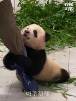 놀아주세요 에버랜드 아기판다 푸바오 영상 400만 돌파