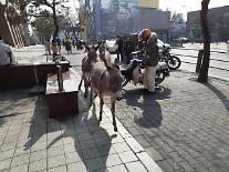서울 도심서 당나귀 3마리 활보, 40분 만에 포획…피해 없어