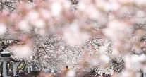 [화보] 진해 벚꽃 활짝