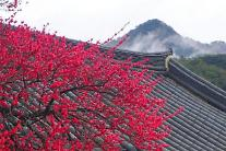 [광화문갤러리] 봄을 알리는 화엄사 홍매화