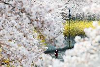 빠른 벚꽃 볼 수 있다...전국 벚꽃 명소 어디?