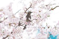 [포토] 하얀 벚꽃에 앉은 직박구리