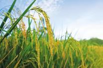 정부, 쌀값 안정 위해 정부양곡 이달 8만톤 추가 공급