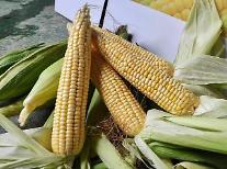여름철 대표 간식 옥수수 맛있게 먹는 법 따로 있다