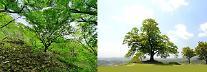  정읍 내장산 단풍나무·부여 가림성 느티나무, 천연기념물 지정